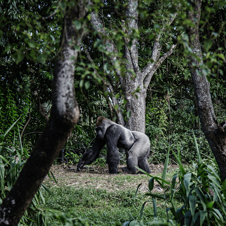 forest biodiversity gorilla